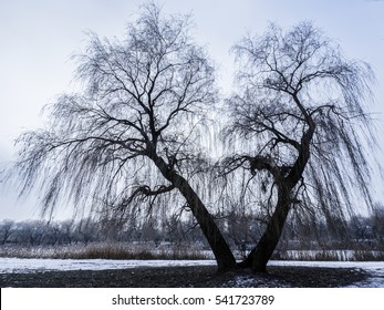 willow with no leaves on the shore of a frozen lake