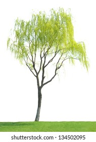 Willow on a white background