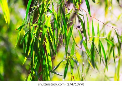 willow pepermint (Agonis flexuosa) plant  in spring
