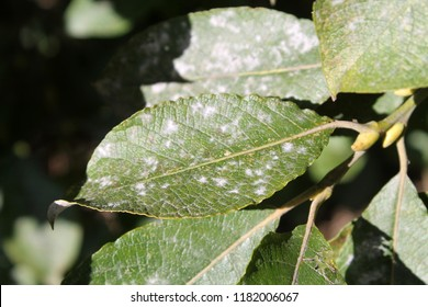 Willow Powdery Mildew or Uncinula adunca on leaf of Salix caprea or Great sallow