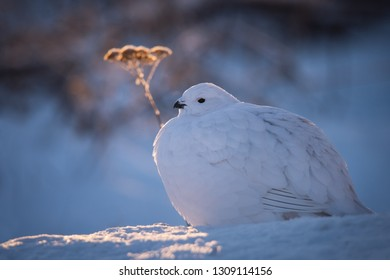 A Willow Ptarmigan catches the last rays of the setting arctic sun with Common Yarrow in the background in Yellowknife, Northwest Territories, Canada.