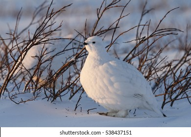 Willow Ptarmigan (grouse) standing near willow in the arctic