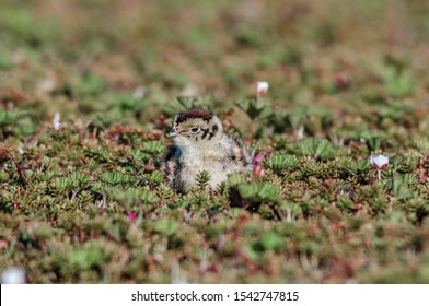 Willow Ptarmigan (Lagopus lagopus) chick in Barents Sea coastal area, Timan tundra, Nenets Autonomous Okrug, Arkhangelsk Region, Russia
