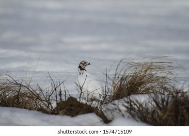 Willow Ptarmigan (Lagopus lagopus) hiding among willow branches with snow on the ground in spring, near Arviat, Nunavut, Canada