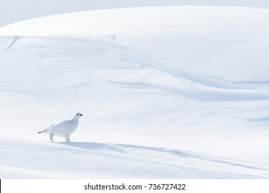 Willow Ptarmigan (Lagopus lagopus), walking on snow drifts, Churchill, Manitoba, Canada