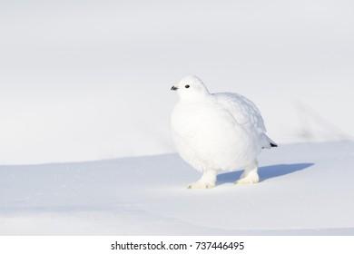 Willow Ptarmigan (Lagopus lagopus), walking on snow, Churchill, Manitoba, Canada