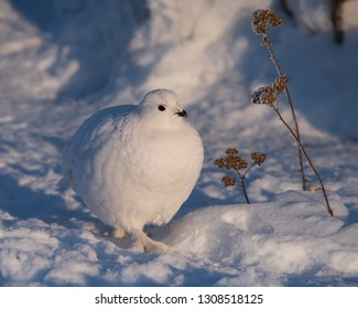 A Willow Ptarmigan walks among the snow and Common Yarrow in Yellowknife, Northwest Territories, Canada.