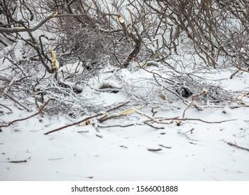 Willow ptarmigan in white plumage hidden in brush on tundra in Churchill, Manitoba, Canada.
