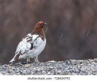 Willow or Red Ptarmigan Male