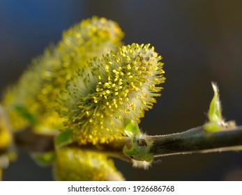 Willow (Salix caprea) branches with buds blossoming in early spring.Salix caprea, known as goat willow, pussy willow or great sallow, is a common species of willow native to Europe.