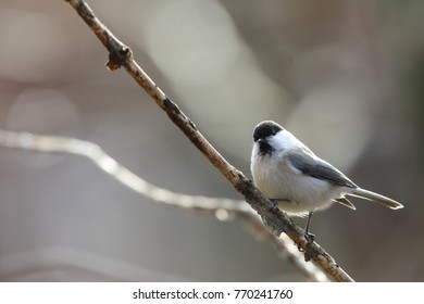willow tit on a branch of tree