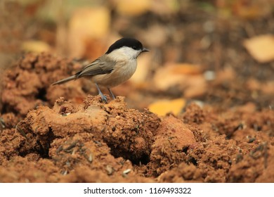 Willow tit on the ground