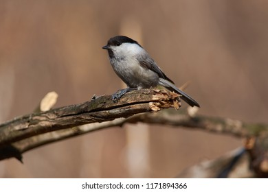 Willow tit (Poecile montanus) sits on a branch, clutching a sunflower seed between the legs, pulling out to pull out the nucleolus.