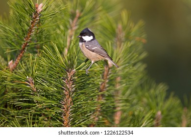Willow Tit is sitting on pine branch, the Netherlands