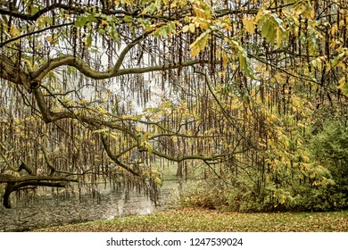 Willow tree in autumn colors in a park