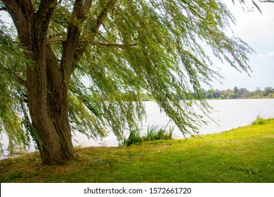 A willow tree blowing in a strong wind by a lake