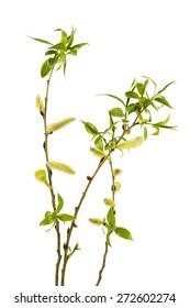 Willow Tree, Branch, Tree, Single Flower, Leaf