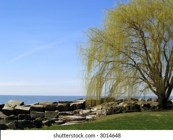 Willow tree budding with spring at the edge of Lake Erie