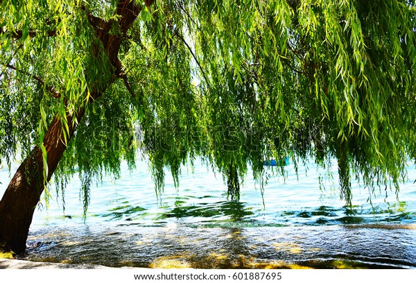 Willow tree by the water