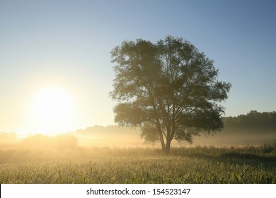Willow tree in a field at dawn on a foggy weather.