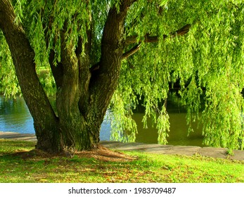 A willow tree grows near the lake. Summer landscape.