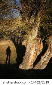 willow tree and human shadow