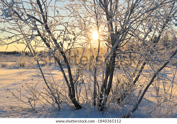 Willow tree on the backdrop of a snow-covered field and winter forest. The setting sun is visible through the branches of the tree. Dawn. Beautiful winter picture, background or wallpaper.