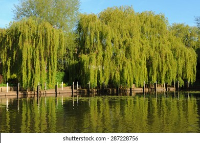 Willow Tree on the Banks of the River Avon, in Stratford upon Avon, Warwickshire, The Midlands, England, UK