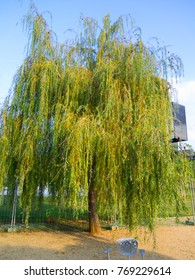 Willow tree in a park outside