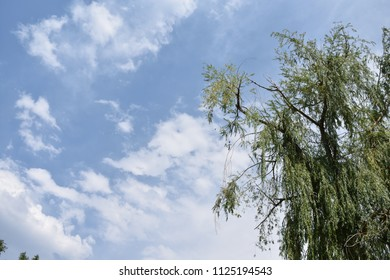 Willow tree and sky with space for text