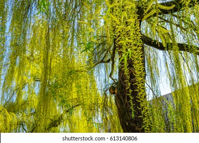 willow tree in spring