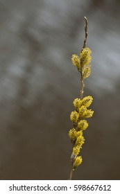 willow tree with yellow pollen in spring time dorset uk