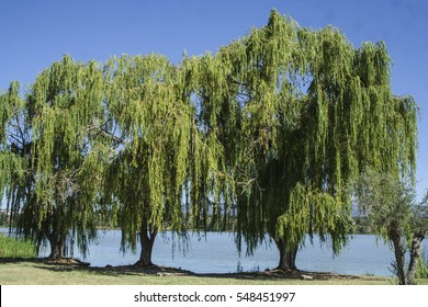 Willow trees, in the swamp, the image of a weeping willows in spring
