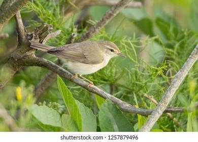 Willow warbler / Phylloscopus trochilus