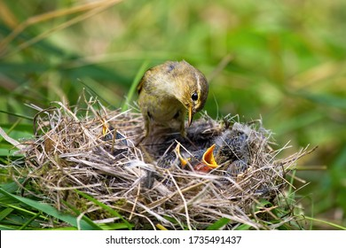 Willow warbler, phylloscopus trochilus, feeding little chicks on nest in summer nature. Family of wild bird with brown and yellow plumage breeding. Mother animal with young offsprings.