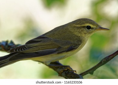 Willow warbler (Phylloscopus trochilus) is a very common and widespread leaf warbler which breeds throughout northern and temperate Europe and Asia