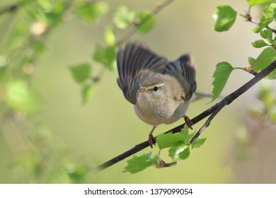 willow warbler sitting on a small birch branch. Phylloscopus trochilus. Wildlife scene fron nature. Song bird in the spring . willow warbler take off.