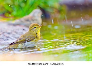 Willow Warbler taking a bath in a forest pond in Castilla y León Spain  Europe