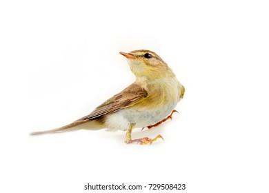 willow warbler (willow wren, Phylloscopus trochilus), yellow-green bird, forest  passerine, most common bird in Europe - on white background