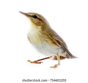 willow warbler (willow wren, Phylloscopus trochilus), yellow-green bird, forest bird, passerine birds - macro, white background