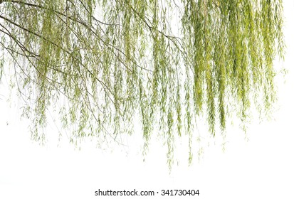 Willow  in a white background