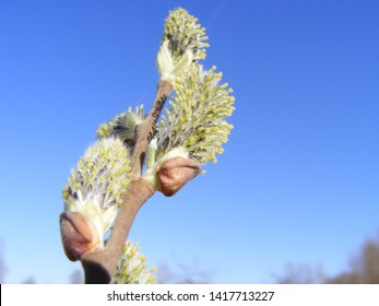 Willow-catkins pollens in a closeup view. Bloom of a pussy willow with a blue sky background.