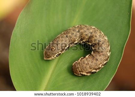 Sưu tập Bộ cánh vẩy  - Page 45 Willowherb-hawkmoth-caterpillar-butterfly-450w-1018939402