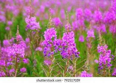 Willow-herb pink Epilobium flowers of fireweed (Epilobium or Chamerion angustifolium) in bloom ivan tea. Flowering willow-herb or blooming sally. Wild medicinal plants of willow-herb or Epilobium.