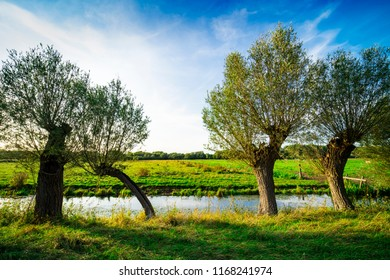 willows along the water in national park Biesbosch, Merwelanden, The Netherlands,