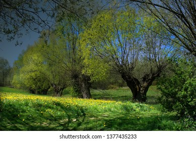 willows, also called sallows and osiers, form the genus salix, around 400 species of deciduous trees and shrubs, found primarily on moist soils in cold and temperate regions of the northern hemisphere