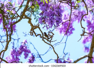 Willy wag tail in Jacaranda tree blossoming during Grafton Jacaranda festival