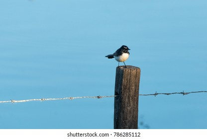 Willy Wagtail sitting on a fence with a blue background