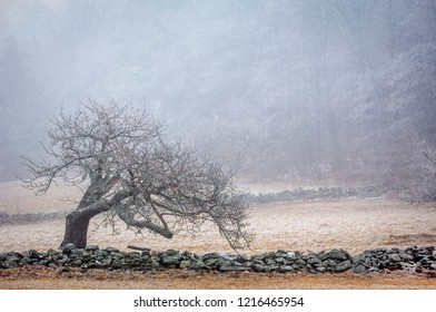 Wilmington,VT/USA - March, 2016:  A lonely old bent tree covered with ice stands along a stone wall that surrounds a pasture.