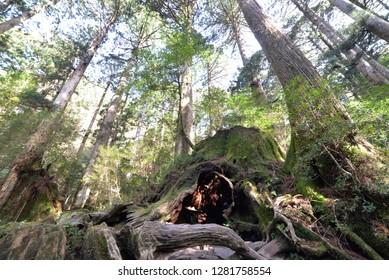 Wilson stump Yakushima